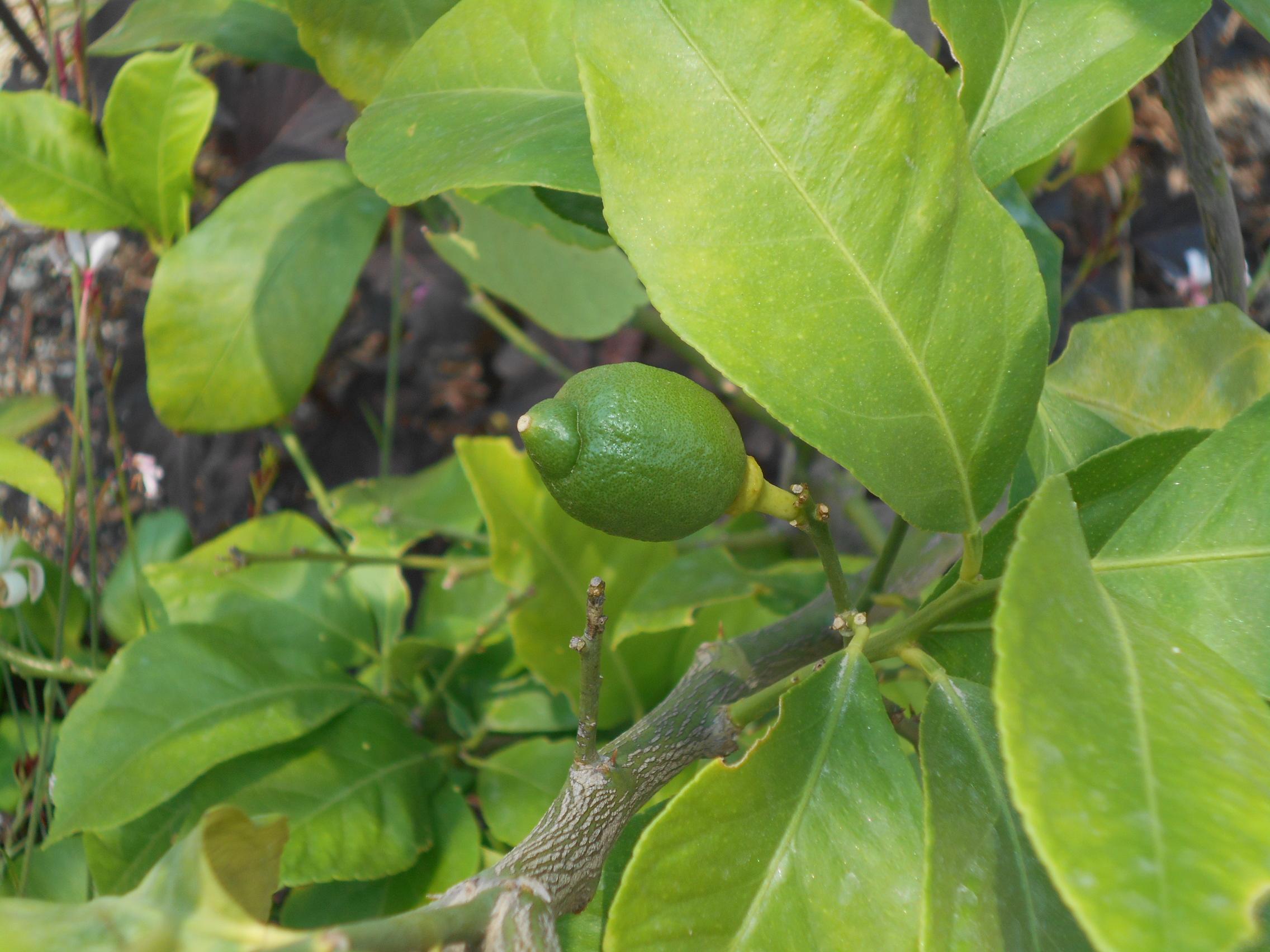 レモンの木 成長記録 ~2~