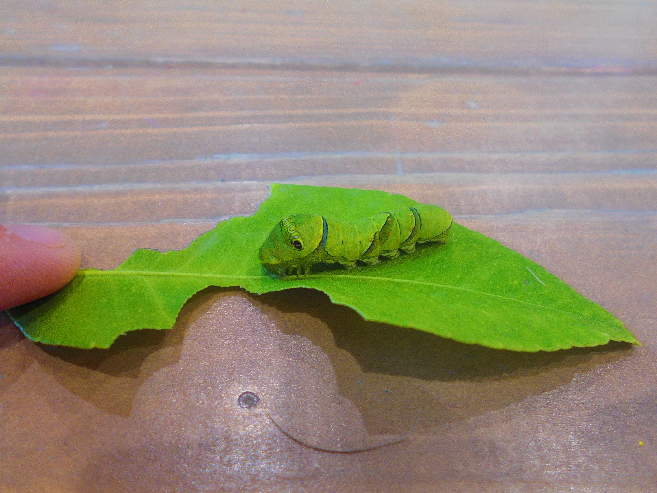 アゲハチョウのピーラーくん成長記録
